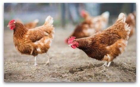 poules à la campagne