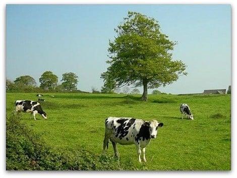 vaches à la campagne