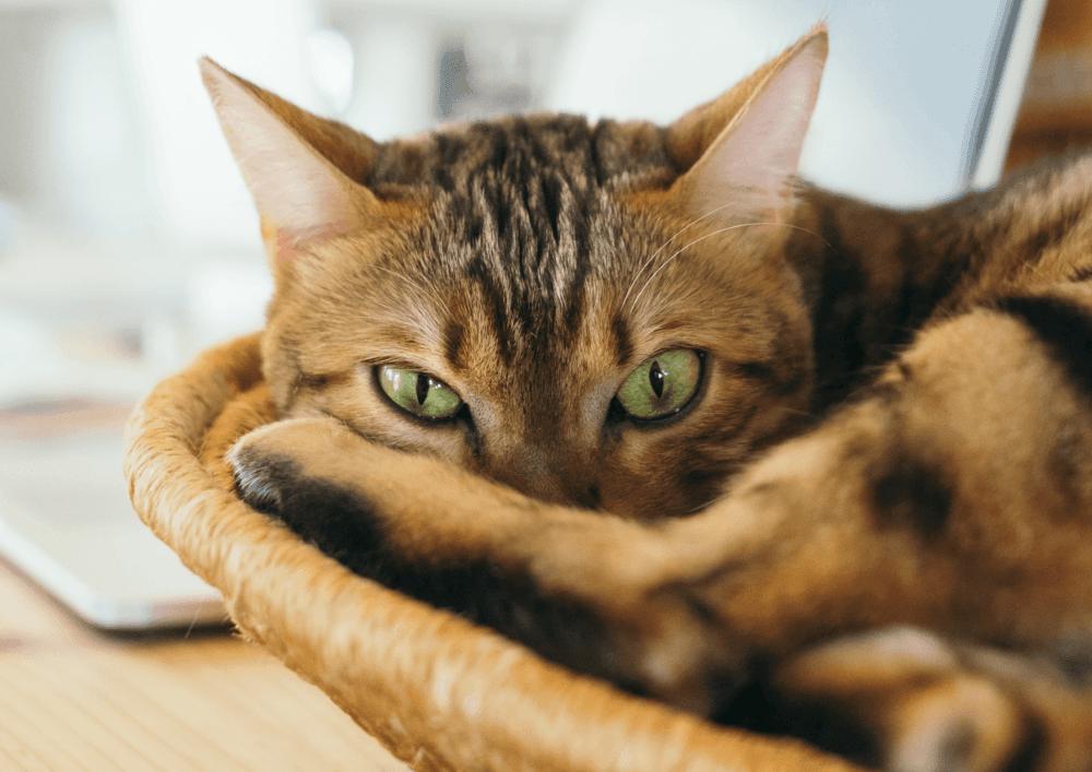 chats télétravail